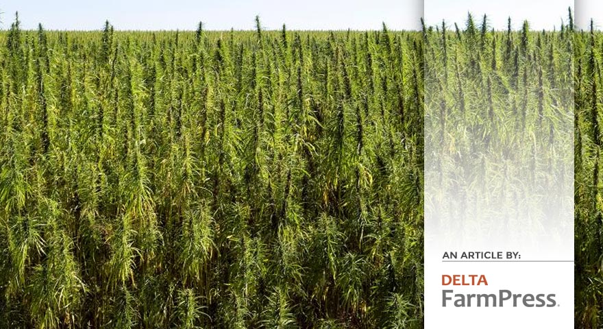 Tree of Life Seeds - Delta Farm Press - Article - How might industrial hemp fit into your operation? - Pic